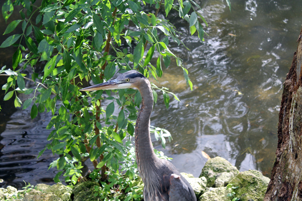 Blue Heron, Homosassa Springs Wildlife Park