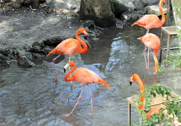 Flamingos, Homosassa Springs Wildlife Park