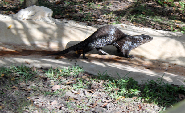 Otter, Homosassa Springs Wildlife Park
