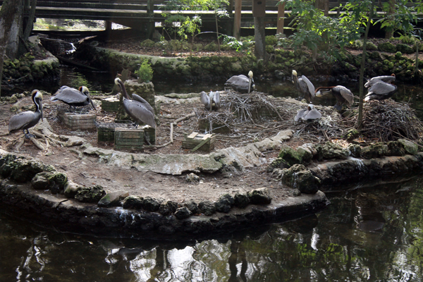 Pelicans, Homosassa Springs Wildlife Park