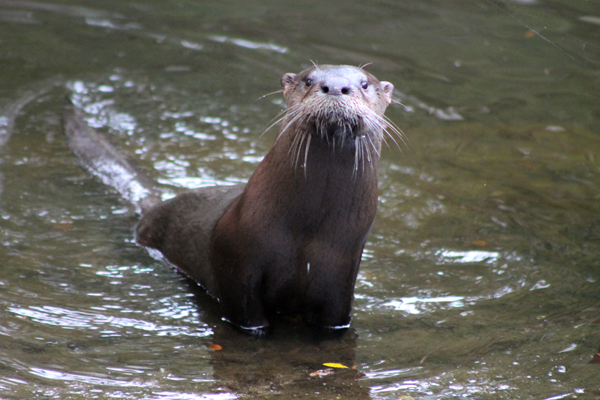 Otter on the kayak ramp