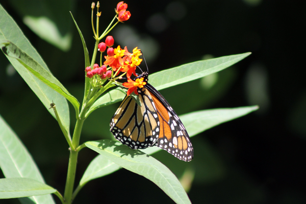 Monarch Butterfly on tropical Milkweed